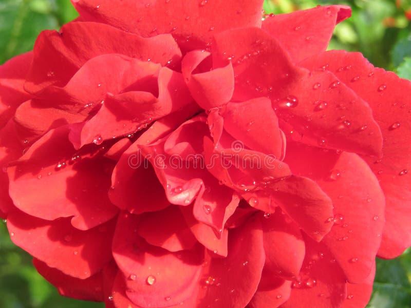 яркие красные розы, погруженные в зелёный листвух против голубого неба, изображают лучший аромат стоковое фото