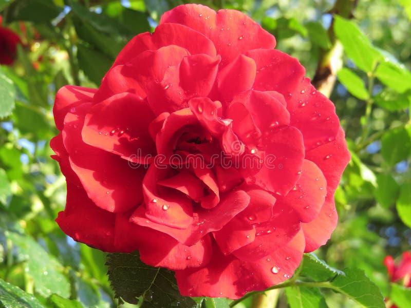 яркие красные розы, погруженные в зелёный листвух против голубого неба, изображают лучший аромат стоковые изображения rf