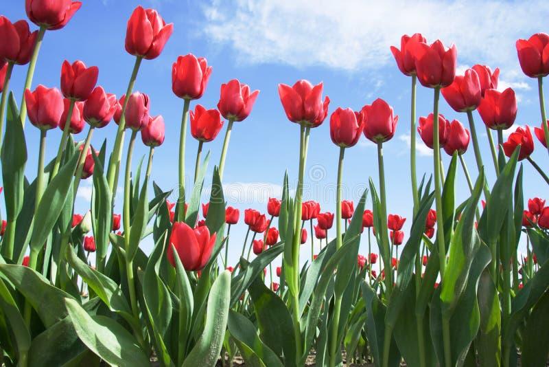 яркие красные тюльпаны стоковое изображение rf