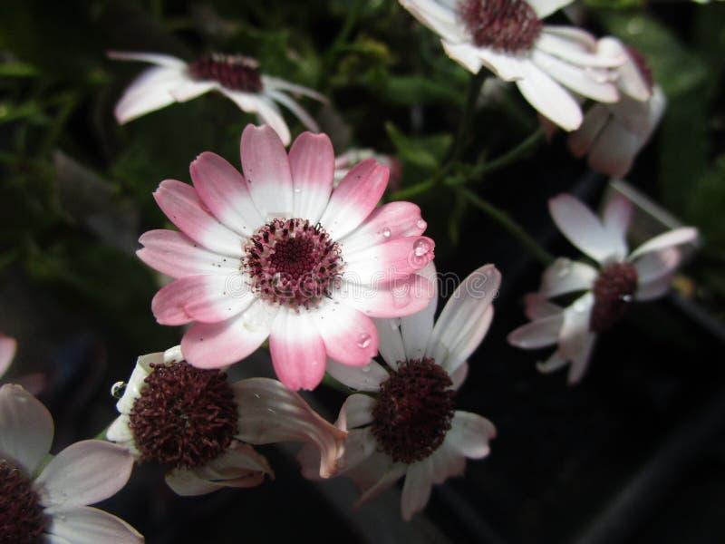 Яркие красочные свежие розовые цветки общей маргаритки в цветени стоковые изображения rf