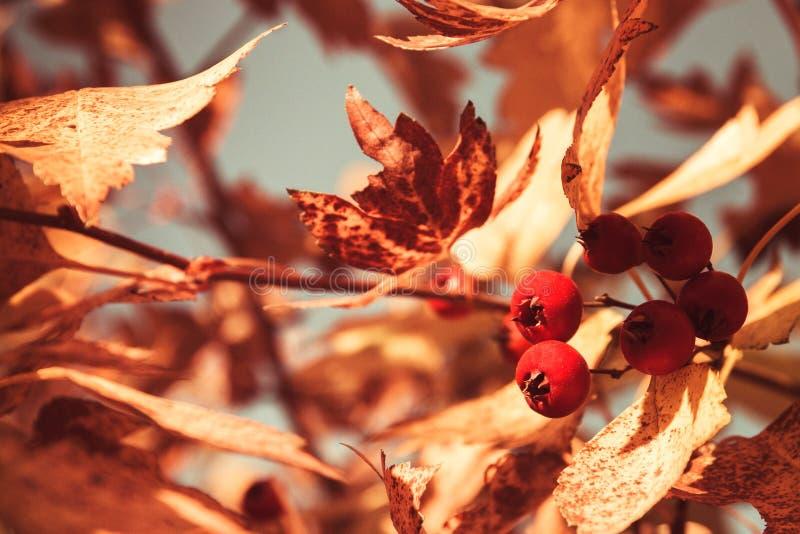 Яркие листья и ягоды осени на дереве, пруде погоды осени теплом солнечном в парке стоковая фотография