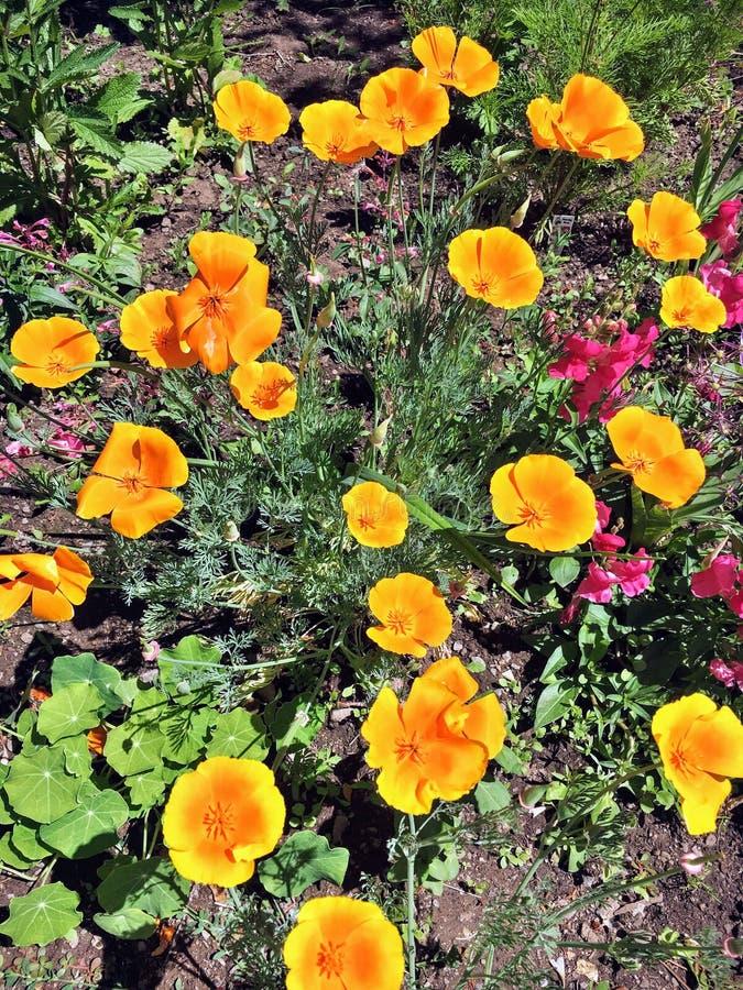 Яркие оранжевые и желтые маки стоковые изображения