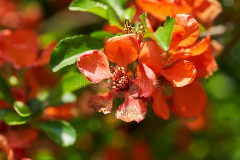 Яркие оранжевые цветки айвы и зеленые листья r стоковое фото rf