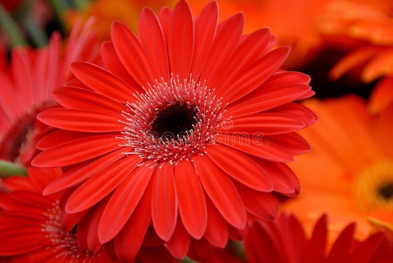 Яркие оранжевые цветки gerbera стоковая фотография rf