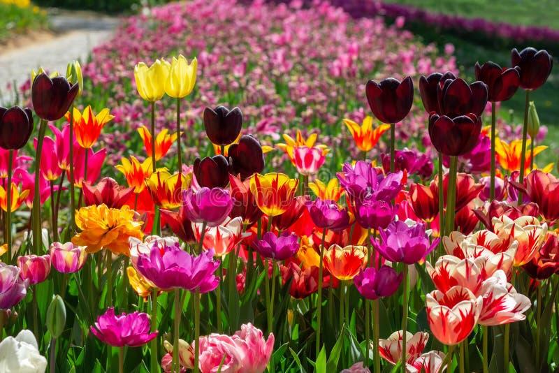Яркие пестротканые тюльпаны различных разнообразий стоковые изображения