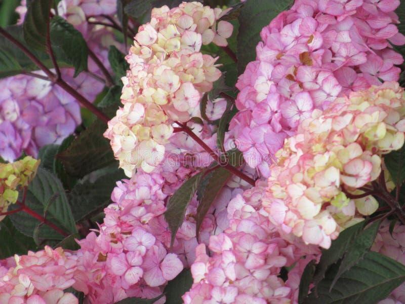 Яркие привлекательные красочные розовые цветки гортензии зацветая в поздним летом в Британской Колумбии стоковые фото