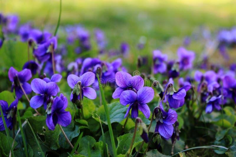 яркие пурпурные цветки на траве стоковые фото