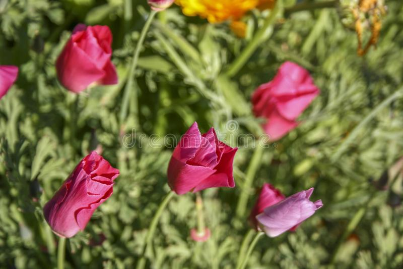 Яркие розовые бутоны цветка на зеленой предпосылке r стоковое фото rf