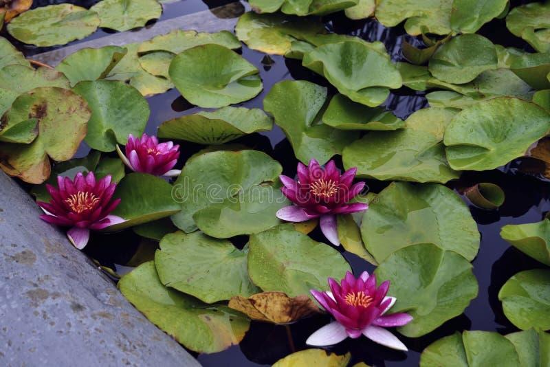 Яркие розовые лилии воды в озере стоковое фото