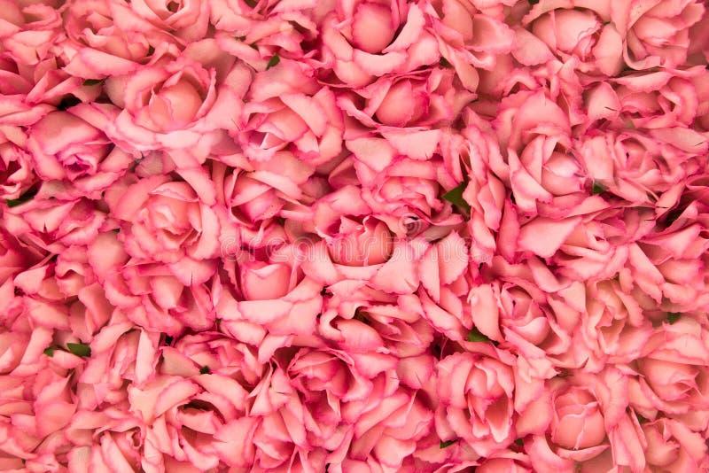 яркие розовые розы стоковые фотографии rf