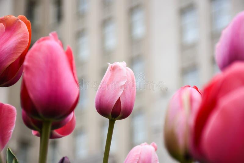 Яркие розовые тюльпаны против расплывчатого города предпосылки строя городскую красоту стоковое фото rf