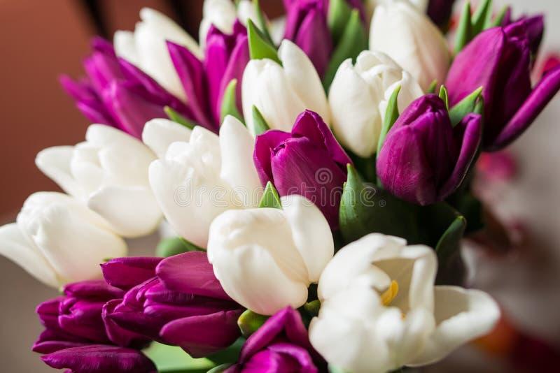 Яркие тюльпаны весны белые и фиолетовый конец-вверх стоковые фото