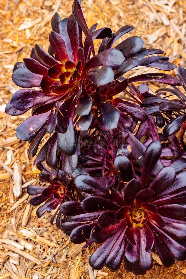 Яркие фиолетовые magenta лист с желтой розовой розеткой крупный план succulent с текстурой предпосылки деревянного mulch стоковые изображения