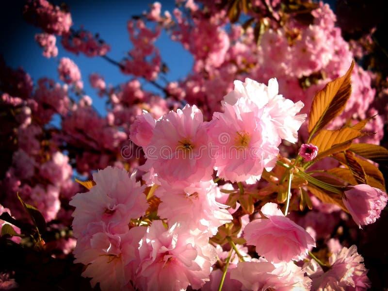 Яркие цвета цвести дерева вероятно цветя вишня весной стоковая фотография