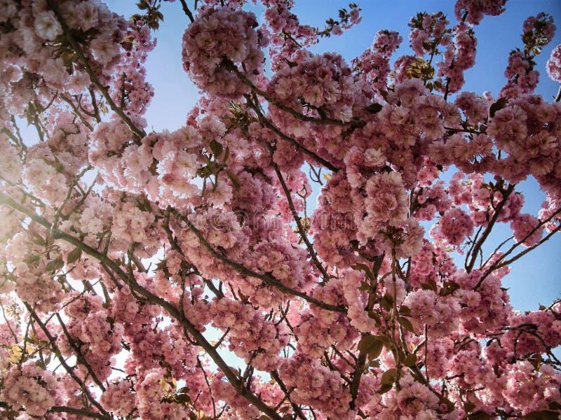 Яркие цвета цвести дерева вероятно цветя вишня весной стоковое изображение