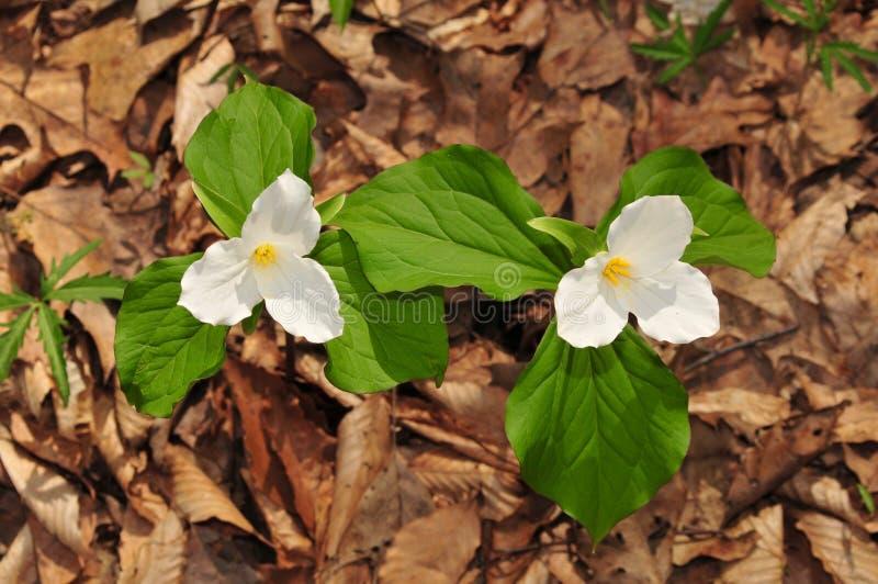 Яркие цветки 2 больших белых заводов trillium в лесе весны стоковые изображения