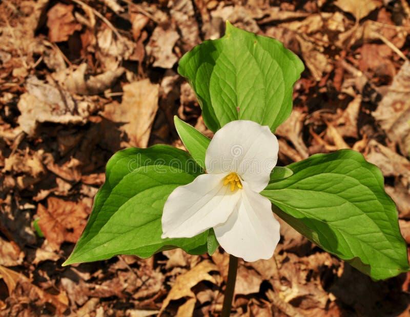 Яркие цветки большого белого завода trillium в лесе весны стоковые изображения rf