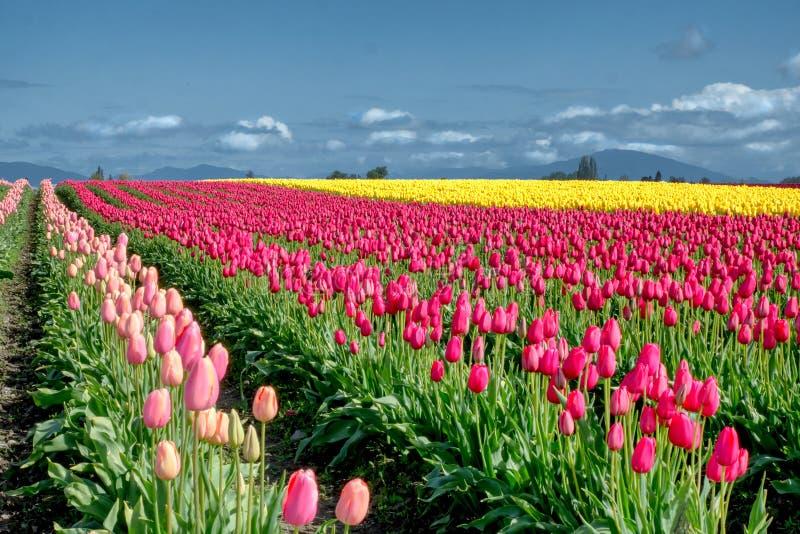 Яркие цветки тюльпана протягивают к горизонту в полях около Mount Vernon Вашингтона стоковое изображение