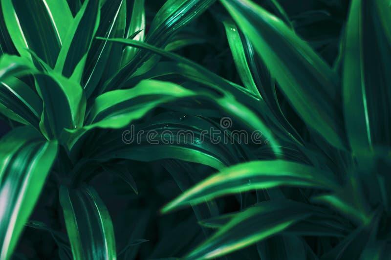 Яркие ые-зелен листья домашнего цветка с нашивками на листьях стоковое изображение rf