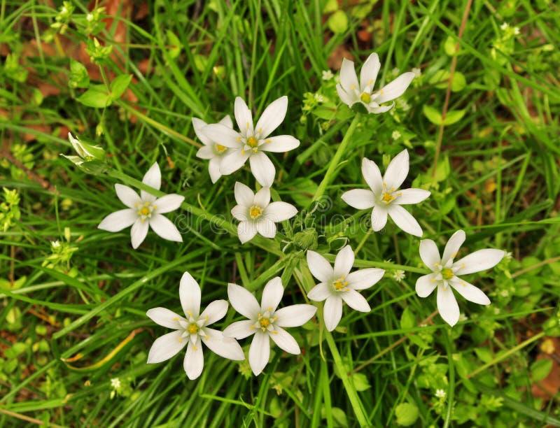 Яркие ые-зелен листья и белые цветки звезд--Вифлеем засаживает стоковое изображение