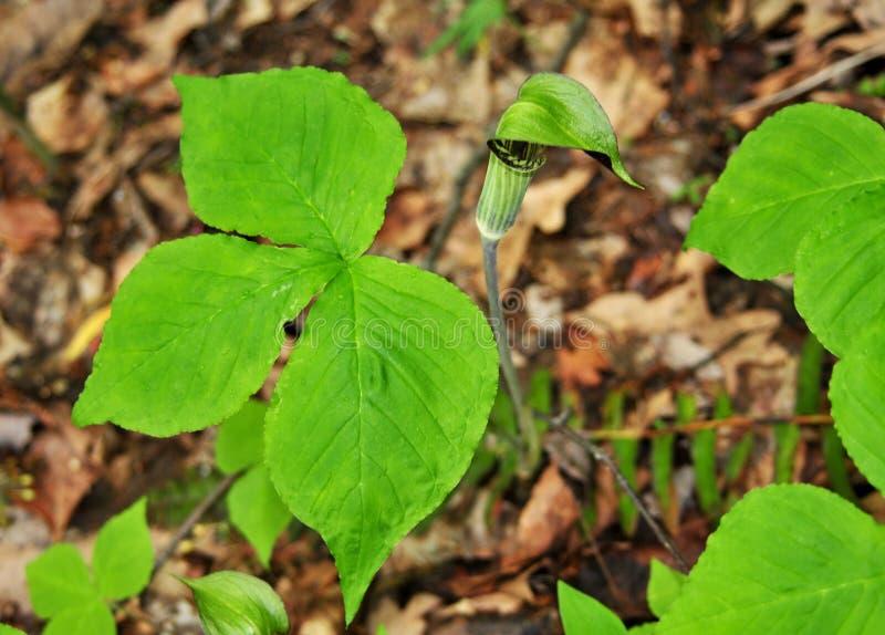 Яркие ые-зелен листья и зеленый и фиолетовый цветок завода Джек-в--амвона стоковые изображения rf
