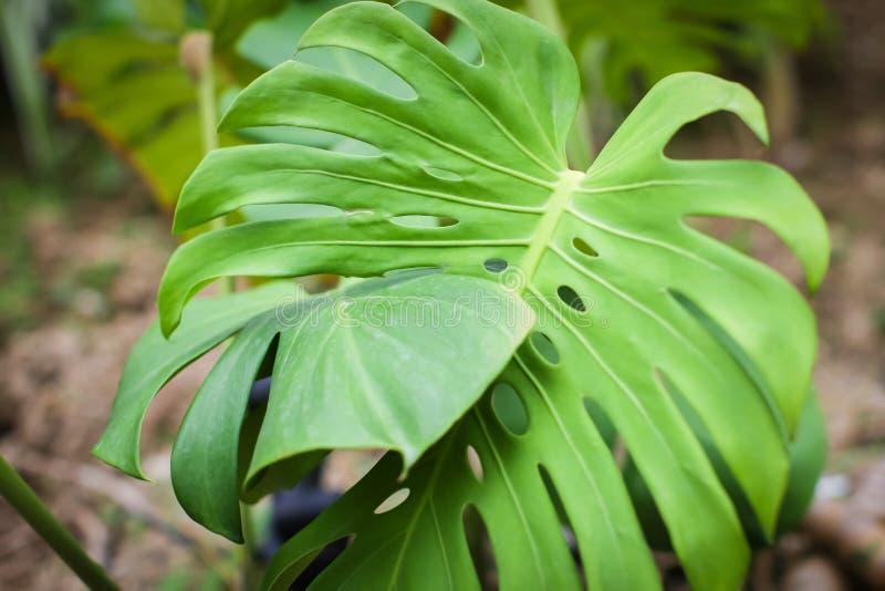 Яркие ые-зелен листья листвы филодендрона разделени-лист monstera тропической засаживают расти в одичалом вектор детального черте стоковое фото rf