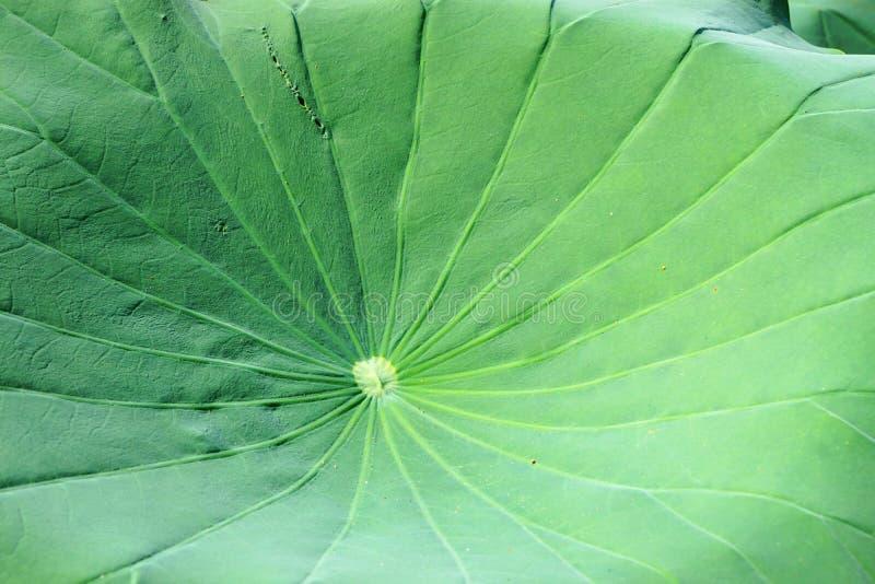 Яркие ые-зелен лист лотоса с излучать картину естественной предпосылки вен стоковые изображения