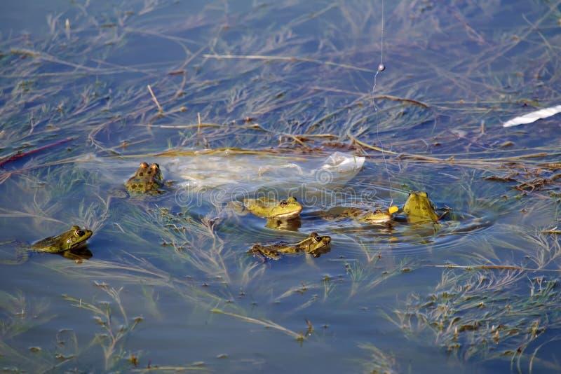 Яркие ые-зелен лягушки болота наблюдают зерно мозоли на удя крюке стоковые изображения rf