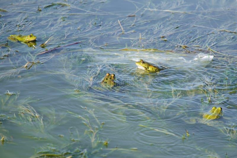 Яркие ые-зелен лягушки болота сидят на водорослях в верхнем слое воды стоковые изображения