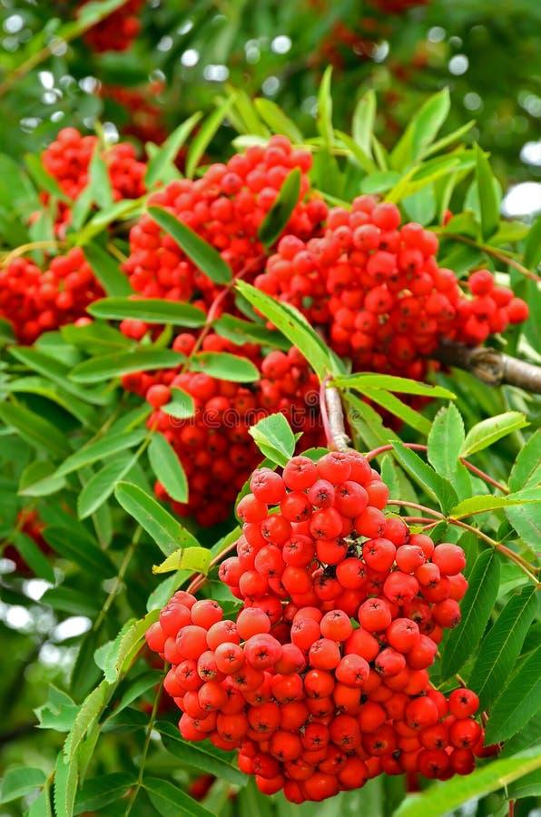 Яркие ягоды рябины стоковые фото