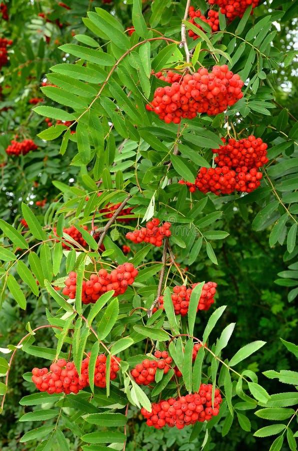 Яркие ягоды рябины стоковые изображения rf