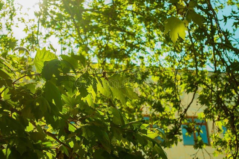 Яркий белый солнечный свет светя через зеленые и желтые кленовые листы против голубого неба стоковое изображение rf