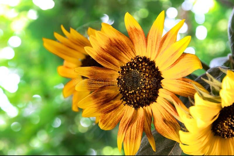 Яркий букет солнцецветов на солнечный день стоковое изображение