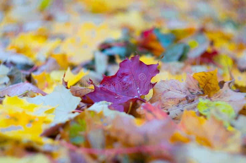 Яркий бургундский кленовый лист среди упаденных листьев на том основании Падая листья Предпосылка осени Мягкий фокус, малая глуби стоковое фото