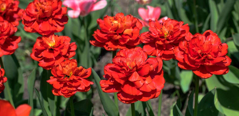 Яркий бутон тюльпана весны стоковое фото rf