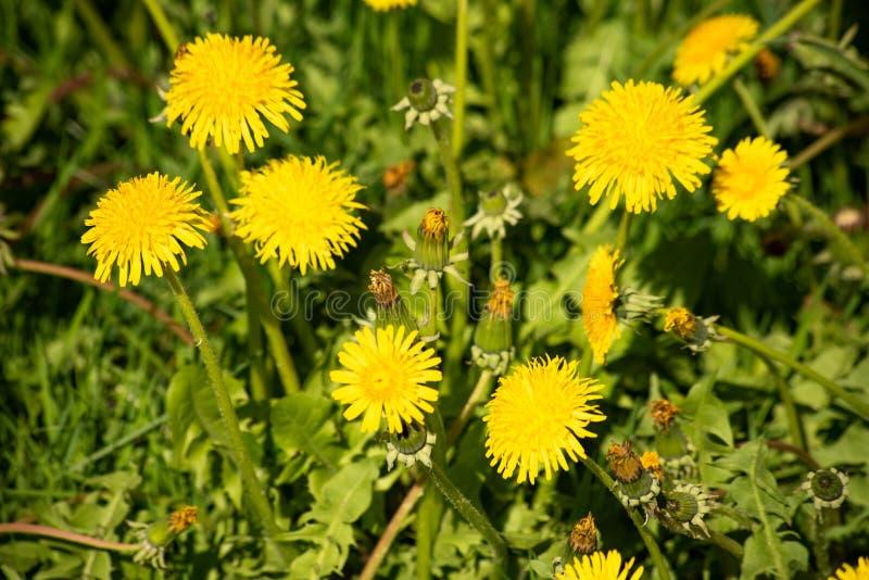 Яркий желтый одуванчик в зеленом поле стоковые изображения rf