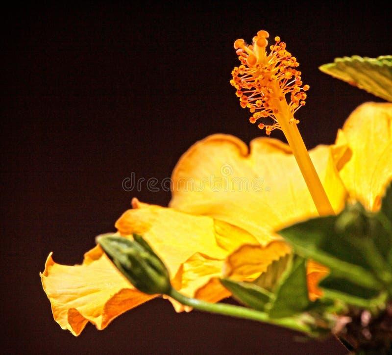 Яркий желтый цветок против темной предпосылки стоковое фото