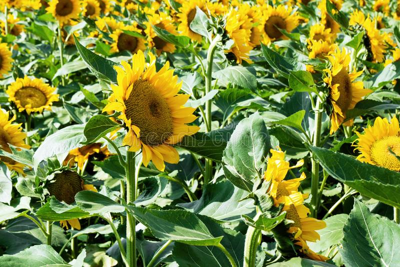 яркий желтый цвет солнцецветов поля стоковое фото