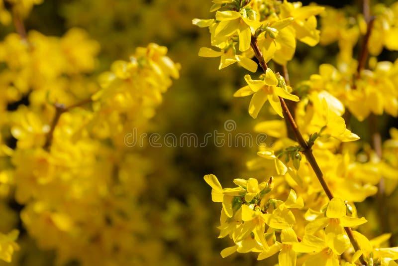 Яркий желтый Forsythia накаляет со счастьем на солнце весны против черной предпосылки стоковые изображения