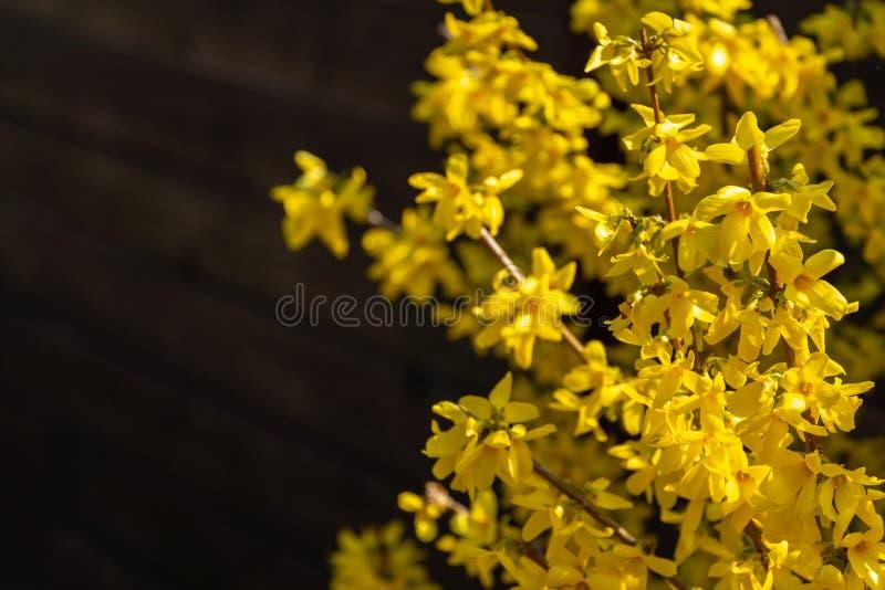 Яркий желтый Forsythia накаляет со счастьем на солнце весны против черной предпосылки прошлого winte стоковые изображения