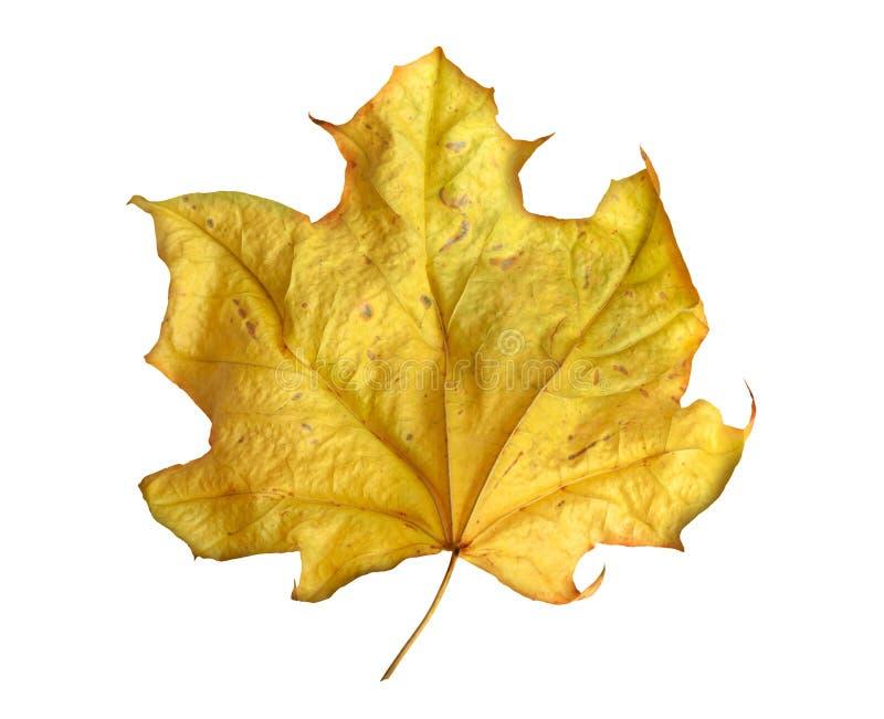 Яркий желтый кленовый лист на белой предпосылке стоковые фото