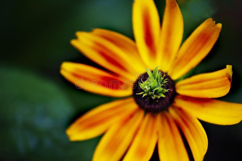 Яркий желтый цветок с geen центр стоковые изображения