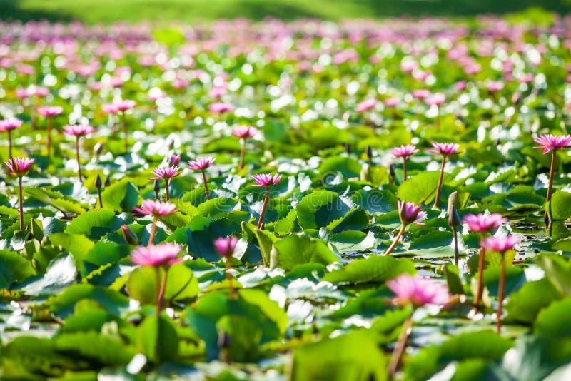 Яркий и красивый пейзаж лилий воды на тропическом пруде, красочные розовые лилии воды полностью зацветает, bokeh с запачканный стоковые изображения rf