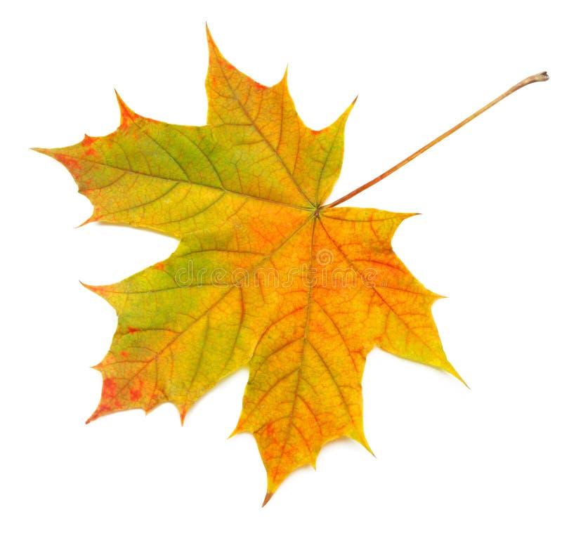 Яркий, кленовый лист осени изолированный на белой предпосылке стоковое изображение