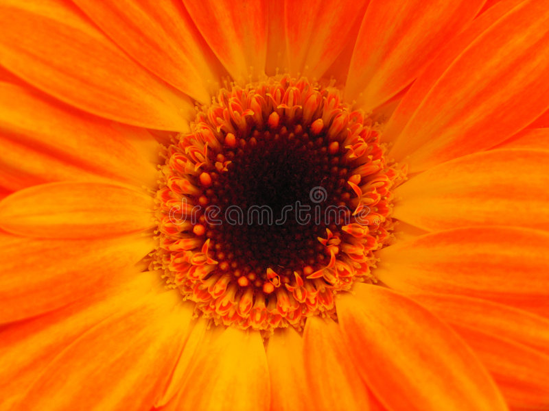 яркий космос померанца цветка экземпляра стоковые фотографии rf
