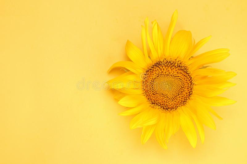 Яркий красивый желтый солнцецвет на яркой желтой предпосылке r с местом для надписи стоковое фото