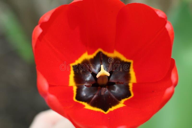 Яркий красный конец-вверх тюльпана на солнечный весенний день стоковое изображение
