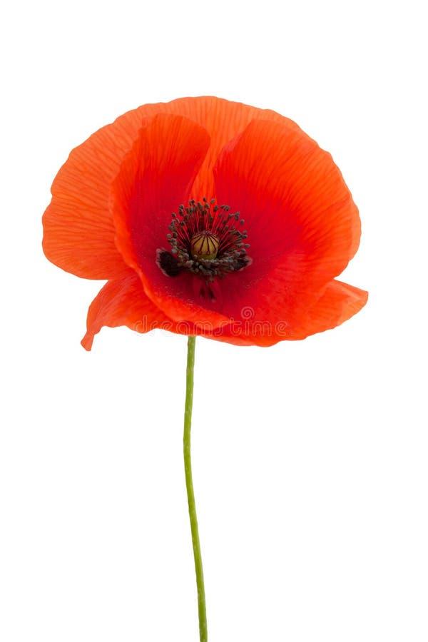 Яркий красный цветок мака изолированный на белизне стоковое изображение rf