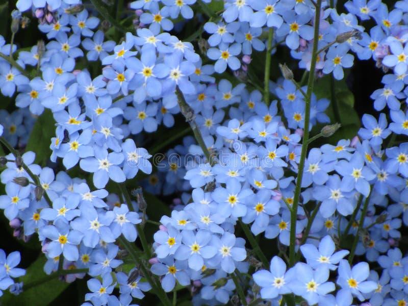 Яркий мягкий голубой сад цвета забыть меня не цветет близко вверх стоковые фотографии rf