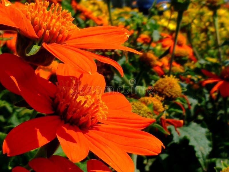 Яркий оранжевый крупный план Gerbera с расплывчатой предпосылкой r стоковое фото